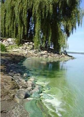algues et eutrophisation des eaux