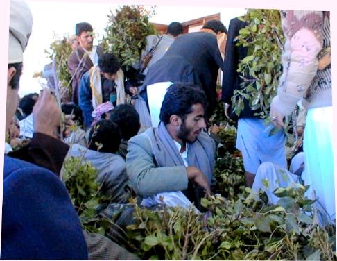Les plantes qui assèchent le Yémen