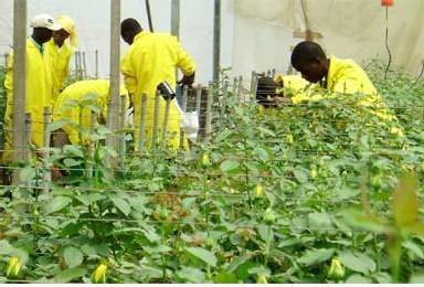 des roses au Kenya