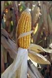Maïs gourmand en eau
