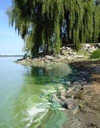 Fleur d'eau de cyanobactéries sous forme d'écume en surface de l'eau et dépôt d'écume sur la plage (en période de vent très calme) − Baie Missisquoi, septembre 2001, Martin Mimeault, MENV