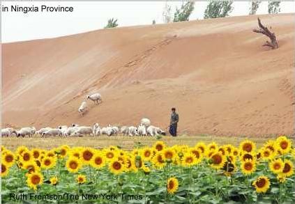 Dune de sable dans la Province Ningxia et plantation de tournesols