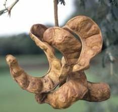 Cosse du Faidherbia albida